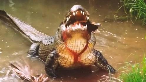 鳄鱼把乌龟咬在嘴里,乌龟一脸挑衅:你咬我呀!下一秒就爆炸了