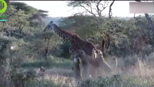 敢欺负到丛林之王头上,先问问狮子群答应不答应!