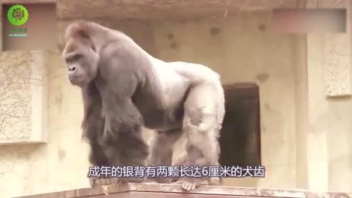 银背大猩猩能一拳打死狮子老虎,你相信吗?这实力确实够牛