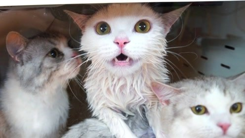 三只猫咪洗完澡又被塞进烤箱,超大分贝呼救,主人耳朵差点聋了
