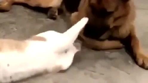 狗子:我的立耳还能不能保得住?算了,玩吧