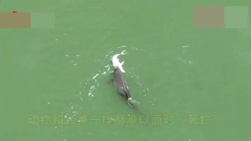 心碎!海豚妈妈不舍死去幼崽,不停推它身体让它浮出水面