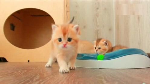 又萌又粘人的小猫,特别喜欢缠着主人