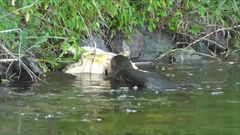 鳄龟天敌竟是只老鼠?看到它立马吓得逃命!