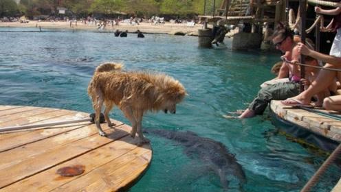 小狗落入海中差点成为鲨鱼嘴中肉,海豚英勇相救画面实在感人!