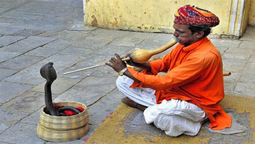印度人街头表演时,为什么能让眼镜王蛇乖乖听话?看完恍然大悟