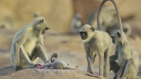 """专家将假猴子放到猴群中,假猴不慎摔""""死"""",猴群的举动让人心痛"""