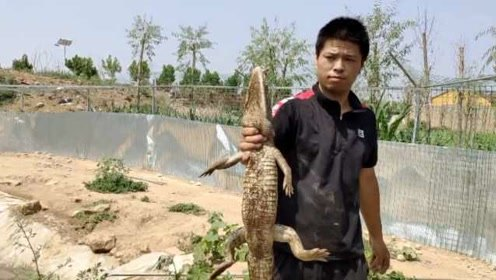90后汽修工转行养千只鳄鱼,年入25万:曾掉进鳄鱼池被咬伤