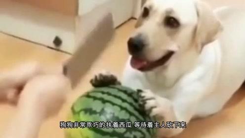 主人切瓜让狗狗扶着,狗狗见主人举棋不定,下一秒憋住别笑!