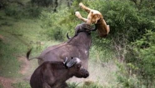 狮子正在捕猎水牛,没想到被水牛同伴顶飞,镜头记下全过程