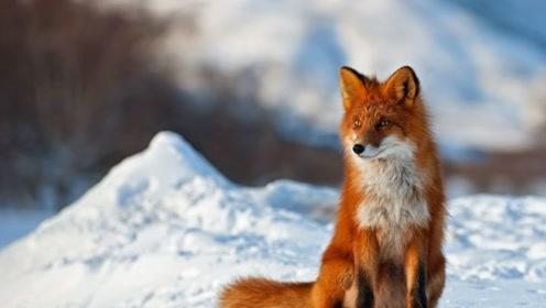被狐狸霸占的日本村落 撒娇卖萌很妩媚 还爱撒尿留印记