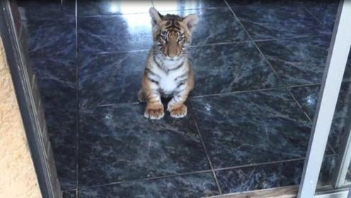 小老虎跟着主人出门,结果发现门口有一群狗狗,下一秒憋住别笑