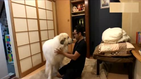 上百斤的狗狗,追着主人讨摸摸,讨不到决不罢休