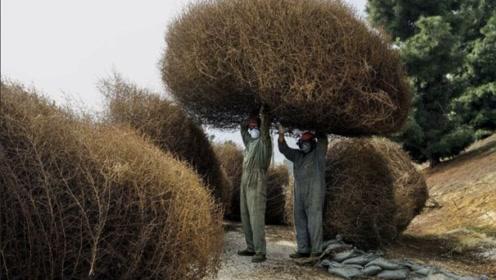 臭名昭著的风滚草,令美国束手无策,在中国成了美食险被吃绝