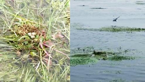 湿地公园回应清理水草毁掉鸟巢鸟蛋:预留400多亩水鸟保护区