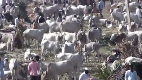 印度这物种泛滥数量已超过3亿头中国吃货:绝对没人敢吃