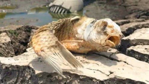 这种鱼没有水4年,被晒成鱼干还不死?放进水里一瞬间,我信了!