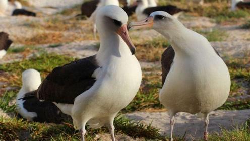 自然界中最忠贞的鸟,无论在外野再久,最后都会回家找媳妇
