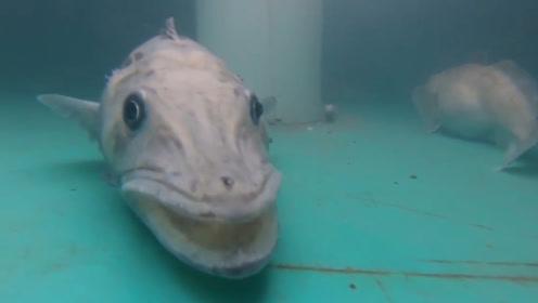 南极冰盖下的神奇物种,血液透明如清水世界唯一
