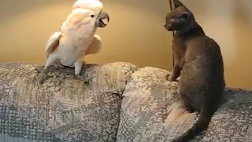 鹦鹉招惹到猫咪,这货一下就火了:老虎不发威当我是病猫?