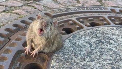 老鼠吃太胖被卡住,消防队前来营救,感觉鼠命到达巅峰!