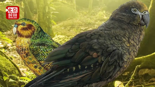 与鳄鱼生活还不会飞?新西兰现史前巨型鹦鹉化石:高1米重14斤