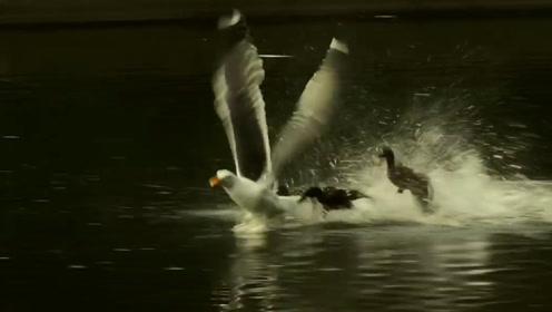 小鸭当着妈妈的面被生吞,母鸭全部联合起来,直接把海鸥往水下拖