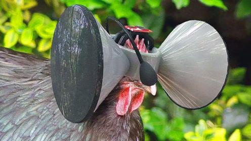 现代化养鸡有多高科技?给鸡戴上VR眼镜,让它活在虚拟世界里