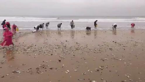 台风过后山东威海一海滩到处布满牡蛎蛤蜊 市民疯狂捡海鲜
