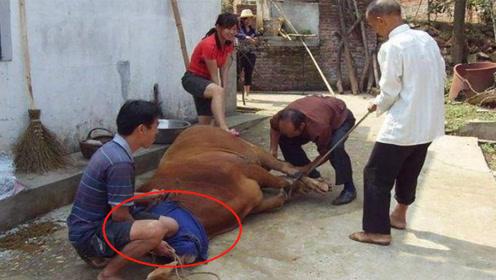 在过去农村杀牛时,为何要把牛的眼睛蒙住?老屠夫道出其中原因!