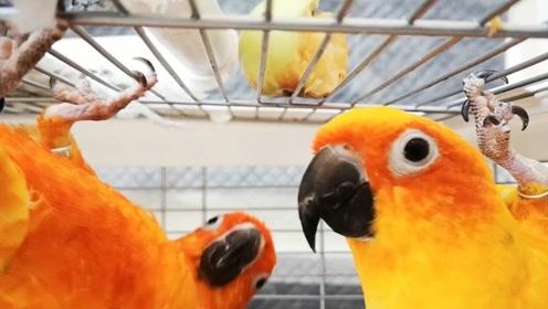 鹦鹉对于苹果的喜爱程度好可怕,一个不注意就开始互掐了,太难了