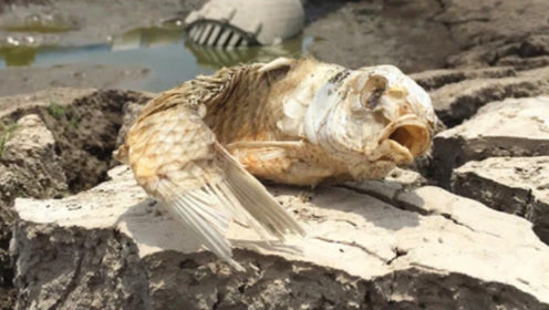 这种鱼被晒成鱼干都不死?小伙将其放入水中,下一秒我信了!