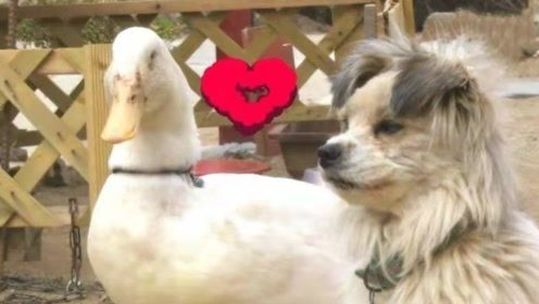 """鸭子爱上小母狗,使出浑身解数""""疯狂求爱"""",主人都看不下去了!"""
