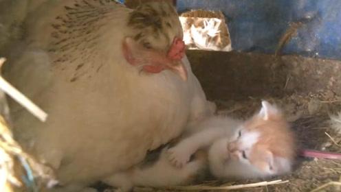 农场里的母鸡把小猫当成鸡仔,喜欢孵在小猫身上,太有爱了!