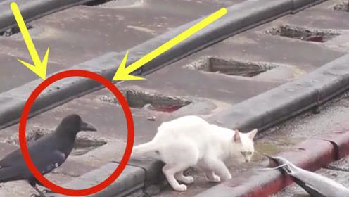 猫咪正在吃鱼,乌鸦悄悄绕到其身后,下一秒憋住别笑!