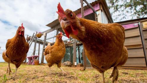 先有鸡还是先有蛋?专家给出解释,答案没你想的那么简单!