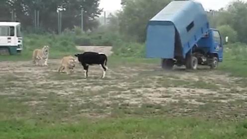 东北虎饲养基地,采取活体投喂方式,牛哥刚下车就被一群老虎围住