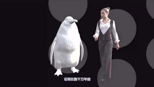 最新发现:娇小的企鹅,在千万年前体型居然与人类相当