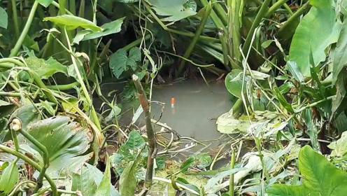 荒废的河中长满水草,小伙拔开水草撒下钓竿,结果这里收获连竿