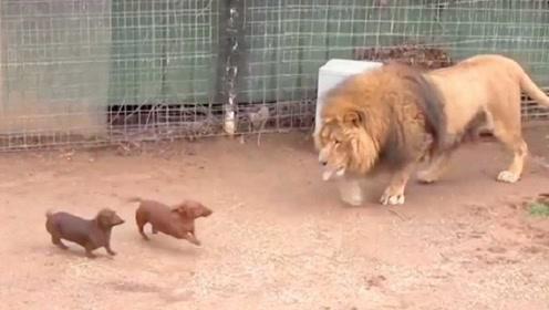 动物园饲养员这么狠心吗?居然把小狗投入狮笼,结果出乎意料!