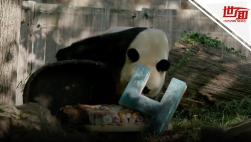 大熊猫贝贝在美庆祝四岁生日 吃豪华生日蛋糕超开心