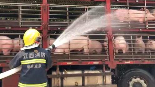 """差点变烤猪!一车生猪被困烈日下哀嚎,消防赶来降温""""续命"""""""