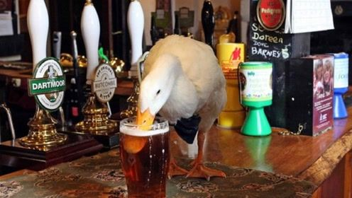 国外这鸭子喝啤酒上瘾,几天不喝就发脾气,网友:正宗的啤酒鸭