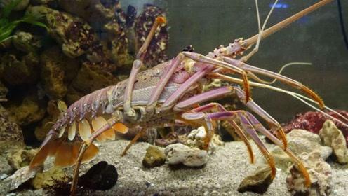 非洲原始部落怎么吃龙虾?美国人感慨:不可思议,中国人:心疼