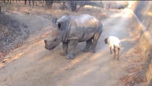 小羊蹦蹦跳跳,犀牛宝宝看见忍不住跟着学,接下来的动作太搞笑了