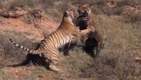 老虎之间的死斗,雄虎惨被虎王咬断脖子!一招锁喉!