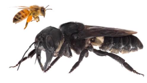 世界上最大的蜜蜂,曾被认为灭绝如今却突然出现