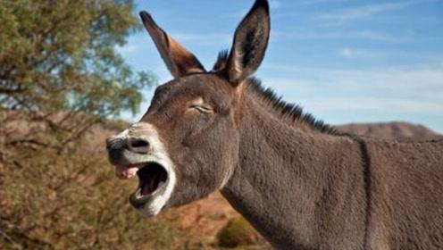 为什么骡子不能生育?看看马和驴做了什么事,今天总算涨见识了