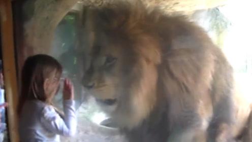 小姑娘隔玻璃给了狮子一吻,不料意外发生,镜头拍下整个过程!