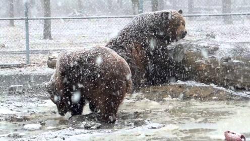 俄罗斯小哥往熊身上扔雪,棕熊的反应太搞笑了!熊:好嗨呦!